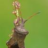 Coreus marginatus - Arkliarūgštinė kampuotblakė   Fotografijos autorius : Darius Baužys   © Macrogamta.lt   Šis tinklapis priklauso bendruomenei kuri domisi makro fotografija ir fotografuoja gyvąjį makro pasaulį.