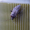 Žolblakė - Lygus sp.  | Fotografijos autorius : Darius Baužys | © Macrogamta.lt | Šis tinklapis priklauso bendruomenei kuri domisi makro fotografija ir fotografuoja gyvąjį makro pasaulį.