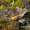 Archiearis parthenias - Paprastasis pavasarinukas   Fotografijos autorius : Vitas Stanevičius   © Macrogamta.lt   Šis tinklapis priklauso bendruomenei kuri domisi makro fotografija ir fotografuoja gyvąjį makro pasaulį.