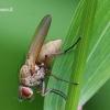 Delia coarctata - Želmeninė žiedenė | Fotografijos autorius : Vitas Stanevičius | © Macrogamta.lt | Šis tinklapis priklauso bendruomenei kuri domisi makro fotografija ir fotografuoja gyvąjį makro pasaulį.