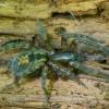 Gelsvapilvis niūrvoris - Amaurobius fenestralis | Fotografijos autorius : Romas Ferenca | © Macrogamta.lt | Šis tinklapis priklauso bendruomenei kuri domisi makro fotografija ir fotografuoja gyvąjį makro pasaulį.