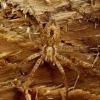 Anyphaena accentuata - Miškinis gležnavoris | Fotografijos autorius : Romas Ferenca | © Macrogamta.lt | Šis tinklapis priklauso bendruomenei kuri domisi makro fotografija ir fotografuoja gyvąjį makro pasaulį.