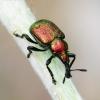 Byctiscus betulae - Liepinis cigarsukis   Fotografijos autorius : Romas Ferenca   © Macrogamta.lt   Šis tinklapis priklauso bendruomenei kuri domisi makro fotografija ir fotografuoja gyvąjį makro pasaulį.