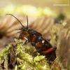 Carabus granulatus - Gumburiuotasis puošniažygis | Fotografijos autorius : Romas Ferenca | © Macrogamta.lt | Šis tinklapis priklauso bendruomenei kuri domisi makro fotografija ir fotografuoja gyvąjį makro pasaulį.
