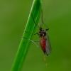 Gumbauodis - Cecidomyiidae | Fotografijos autorius : Romas Ferenca | © Macrogamta.lt | Šis tinklapis priklauso bendruomenei kuri domisi makro fotografija ir fotografuoja gyvąjį makro pasaulį.