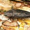 Chalcophora mariana - Didysis blizgiavabalis   Fotografijos autorius : Romas Ferenca   © Macrogamta.lt   Šis tinklapis priklauso bendruomenei kuri domisi makro fotografija ir fotografuoja gyvąjį makro pasaulį.