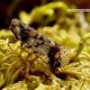 Cixius cunicularius - Cikada | Fotografijos autorius : Romas Ferenca | © Macrogamta.lt | Šis tinklapis priklauso bendruomenei kuri domisi makro fotografija ir fotografuoja gyvąjį makro pasaulį.
