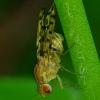 Girinukė - Eusapromyza multipunctata   Fotografijos autorius : Romas Ferenca   © Macrogamta.lt   Šis tinklapis priklauso bendruomenei kuri domisi makro fotografija ir fotografuoja gyvąjį makro pasaulį.