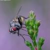 Žiedenė - Emmesomyia socia  | Fotografijos autorius : Romas Ferenca | © Macrogamta.lt | Šis tinklapis priklauso bendruomenei kuri domisi makro fotografija ir fotografuoja gyvąjį makro pasaulį.