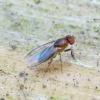 Vaisinė muselė - Chymomyza sp. | Fotografijos autorius : Romas Ferenca | © Macrogamta.lt | Šis tinklapis priklauso bendruomenei kuri domisi makro fotografija ir fotografuoja gyvąjį makro pasaulį.