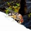 Leucophenga maculata - Vaismusė | Fotografijos autorius : Romas Ferenca | © Macrogamta.lt | Šis tinklapis priklauso bendruomenei kuri domisi makro fotografija ir fotografuoja gyvąjį makro pasaulį.