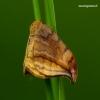 Drepana curvatula - Tamsusis lenktasparnis   Fotografijos autorius : Romas Ferenca   © Macrogamta.lt   Šis tinklapis priklauso bendruomenei kuri domisi makro fotografija ir fotografuoja gyvąjį makro pasaulį.