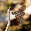 Empis borealis - Snapmusė | Fotografijos autorius : Romas Ferenca | © Macrogamta.lt | Šis tinklapis priklauso bendruomenei kuri domisi makro fotografija ir fotografuoja gyvąjį makro pasaulį.