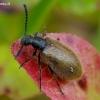 Paprastasis gauravabalis - Lagria hirta | Fotografijos autorius : Romas Ferenca | © Macrogamta.lt | Šis tinklapis priklauso bendruomenei kuri domisi makro fotografija ir fotografuoja gyvąjį makro pasaulį.
