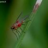 Smailiasparnė muselė - Lonchoptera bifurcata | Fotografijos autorius : Romas Ferenca | © Macrogamta.lt | Šis tinklapis priklauso bendruomenei kuri domisi makro fotografija ir fotografuoja gyvąjį makro pasaulį.