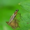 Smailiasparnė muselė - Lonchoptera sp. | Fotografijos autorius : Romas Ferenca | © Macrogamta.lt | Šis tinklapis priklauso bendruomenei kuri domisi makro fotografija ir fotografuoja gyvąjį makro pasaulį.