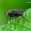 Anthomyiidae - Žiedenė | Fotografijos autorius : Romas Ferenca | © Macrogamta.lt | Šis tinklapis priklauso bendruomenei kuri domisi makro fotografija ir fotografuoja gyvąjį makro pasaulį.