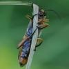 Laibavabalis - Oedemera podagrariae ♀ | Fotografijos autorius : Romas Ferenca | © Macrogamta.lt | Šis tinklapis priklauso bendruomenei kuri domisi makro fotografija ir fotografuoja gyvąjį makro pasaulį.