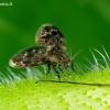 Kandinis uodelis - Pericoma sp. | Fotografijos autorius : Romas Ferenca | © Macrogamta.lt | Šis tinklapis priklauso bendruomenei kuri domisi makro fotografija ir fotografuoja gyvąjį makro pasaulį.