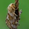 Mažasis šakniagraužis - Phymatopus hecta | Fotografijos autorius : Romas Ferenca | © Macrogamta.lt | Šis tinklapis priklauso bendruomenei kuri domisi makro fotografija ir fotografuoja gyvąjį makro pasaulį.