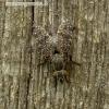 Platystoma seminatione - Musė | Fotografijos autorius : Romas Ferenca | © Macrogamta.lt | Šis tinklapis priklauso bendruomenei kuri domisi makro fotografija ir fotografuoja gyvąjį makro pasaulį.