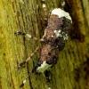 Platystomos albinus - Paprastasis netikrastraublis | Fotografijos autorius : Romas Ferenca | © Macrogamta.lt | Šis tinklapis priklauso bendruomenei kuri domisi makro fotografija ir fotografuoja gyvąjį makro pasaulį.