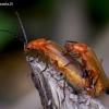 Skėtinis minkštavabalis - Rhagonycha fulva | Fotografijos autorius : Romas Ferenca | © Macrogamta.lt | Šis tinklapis priklauso bendruomenei kuri domisi makro fotografija ir fotografuoja gyvąjį makro pasaulį.