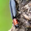 Tillus elongatus - Lapuotinis keršvabalis | Fotografijos autorius : Romas Ferenca | © Macrogamta.lt | Šis tinklapis priklauso bendruomenei kuri domisi makro fotografija ir fotografuoja gyvąjį makro pasaulį.