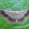 Idaea aversata - Juodajuostis sprindžiukas   Fotografijos autorius : Nomeda Vėlavičienė   © Macrogamta.lt   Šis tinklapis priklauso bendruomenei kuri domisi makro fotografija ir fotografuoja gyvąjį makro pasaulį.