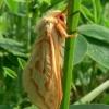 Hepialus humuli - Didysis apyninis šakniagraužis | Fotografijos autorius : Nomeda Vėlavičienė | © Macrogamta.lt | Šis tinklapis priklauso bendruomenei kuri domisi makro fotografija ir fotografuoja gyvąjį makro pasaulį.