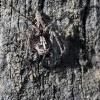 Oxyopes ramosus - Raštuotasis lūšiavoris | Fotografijos autorius : Valdimantas Grigonis | © Macrogamta.lt | Šis tinklapis priklauso bendruomenei kuri domisi makro fotografija ir fotografuoja gyvąjį makro pasaulį.