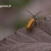 Lagria hirta - Paprastasis gauravabalis | Fotografijos autorius : Vilius Grigaliūnas | © Macrogamta.lt | Šis tinklapis priklauso bendruomenei kuri domisi makro fotografija ir fotografuoja gyvąjį makro pasaulį.