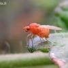 Lauxaniidae - Girinukė   Fotografijos autorius : Rasa Gražulevičiūtė   © Macrogamta.lt   Šis tinklapis priklauso bendruomenei kuri domisi makro fotografija ir fotografuoja gyvąjį makro pasaulį.