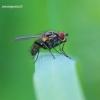 Anthomyiidae - Žiedenė | Fotografijos autorius : Gediminas Gražulevičius | © Macrogamta.lt | Šis tinklapis priklauso bendruomenei kuri domisi makro fotografija ir fotografuoja gyvąjį makro pasaulį.