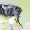 Calliphora sp. - Lavonmusė | Fotografijos autorius : Gediminas Gražulevičius | © Macrogamta.lt | Šis tinklapis priklauso bendruomenei kuri domisi makro fotografija ir fotografuoja gyvąjį makro pasaulį.