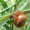 Araneus alsine - Rausvapilvis kryžiuotis | Fotografijos autorius : Linas Mockus | © Macrogamta.lt | Šis tinklapis priklauso bendruomenei kuri domisi makro fotografija ir fotografuoja gyvąjį makro pasaulį.