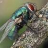 Žalioji lavonmusė - Lucilia sericata | Fotografijos autorius : Armandas Kazlauskas | © Macrogamta.lt | Šis tinklapis priklauso bendruomenei kuri domisi makro fotografija ir fotografuoja gyvąjį makro pasaulį.