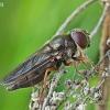 Žalutė - Cheilosia flavipes | Fotografijos autorius : Armandas Kazlauskas | © Macrogamta.lt | Šis tinklapis priklauso bendruomenei kuri domisi makro fotografija ir fotografuoja gyvąjį makro pasaulį.