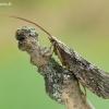 Apsiuva - Trichoptera | Fotografijos autorius : Aivaras Markauskas | © Macrogamta.lt | Šis tinklapis priklauso bendruomenei kuri domisi makro fotografija ir fotografuoja gyvąjį makro pasaulį.