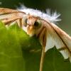Žalsvasis sprindžius - Campaea margaritaria | Fotografijos autorius : Oskaras Venckus | © Macrogamta.lt | Šis tinklapis priklauso bendruomenei kuri domisi makro fotografija ir fotografuoja gyvąjį makro pasaulį.