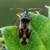 Vaismedinė žiedblakė - Anthocoris nemorum   Fotografijos autorius : Oskaras Venckus   © Macrogamta.lt   Šis tinklapis priklauso bendruomenei kuri domisi makro fotografija ir fotografuoja gyvąjį makro pasaulį.