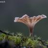 Cotylidia undulata | Fotografijos autorius : Oskaras Venckus | © Macrogamta.lt | Šis tinklapis priklauso bendruomenei kuri domisi makro fotografija ir fotografuoja gyvąjį makro pasaulį.