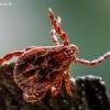 Pievinė erkė - Dermacentor reticulatus   Fotografijos autorius : Oskaras Venckus   © Macrogamta.lt   Šis tinklapis priklauso bendruomenei kuri domisi makro fotografija ir fotografuoja gyvąjį makro pasaulį.