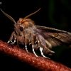 Gluosninis žieminukas - Scoliopteryx libatrix   Fotografijos autorius : Oskaras Venckus   © Macrogamta.lt   Šis tinklapis priklauso bendruomenei kuri domisi makro fotografija ir fotografuoja gyvąjį makro pasaulį.