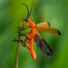 Skėtinis minkštavabalis - Rhagonycha fulva | Fotografijos autorius : Oskaras Venckus | © Macrogamta.lt | Šis tinklapis priklauso bendruomenei kuri domisi makro fotografija ir fotografuoja gyvąjį makro pasaulį.