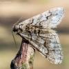 Mažasis ankstyvasis sprindžius - Agriopis leucophaearia | Fotografijos autorius : Oskaras Venckus | © Macrogamta.lt | Šis tinklapis priklauso bendruomenei kuri domisi makro fotografija ir fotografuoja gyvąjį makro pasaulį.
