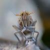 Cikadelė - Stenocranus major   Fotografijos autorius : Oskaras Venckus   © Macrogamta.lt   Šis tinklapis priklauso bendruomenei kuri domisi makro fotografija ir fotografuoja gyvąjį makro pasaulį.