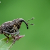 Dilgėlinis straubliukas - Nedyus quadrimaculatus | Fotografijos autorius : Oskaras Venckus | © Macrogamta.lt | Šis tinklapis priklauso bendruomenei kuri domisi makro fotografija ir fotografuoja gyvąjį makro pasaulį.