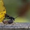 Ąsotinė voravapsvė - Auplopus carbonarius | Fotografijos autorius : Zita Gasiūnaitė | © Macrogamta.lt | Šis tinklapis priklauso bendruomenei kuri domisi makro fotografija ir fotografuoja gyvąjį makro pasaulį.
