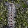 Neporinis verpikas - Lymantria dispar, vikšras   Fotografijos autorius : Zita Gasiūnaitė   © Macrogamta.lt   Šis tinklapis priklauso bendruomenei kuri domisi makro fotografija ir fotografuoja gyvąjį makro pasaulį.
